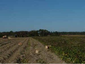 Harvesting Sweet Potatoes. Franktown vicinity, Virginia (2011).