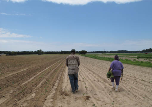 "Carrying Sweet Potato ""Slips"" to the field. Eastville vicinity, Virginia (2009)."