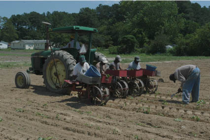 "Planting Sweet Potato ""Slips"" near Eastville, Virginia (2008)."