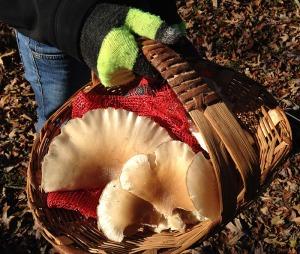 s Westerhouse mushroom harvest