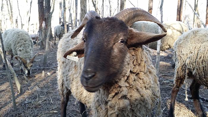 hog island rare breed sheep barbacoa redux bernie herman s blog