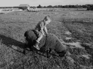 Wrangling Hog Island Sheep at Island View Farm.