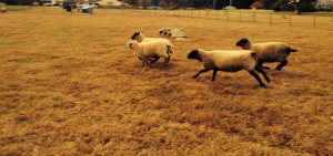 Hog Island sheep running